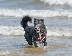 3 year old Romanian rescue dog Lilly from Edinburgh cools down in the surf at Portobello beach, on what is predicted to be the hottest day of the year.<br /> <br /> © Dave Johnston / EEm