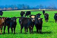 Cattle, Old Frankfort Pike, Lexington, Kentucky USA
