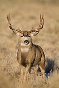 Mule deer buck(Odocoileus hemionus)in Wyoming