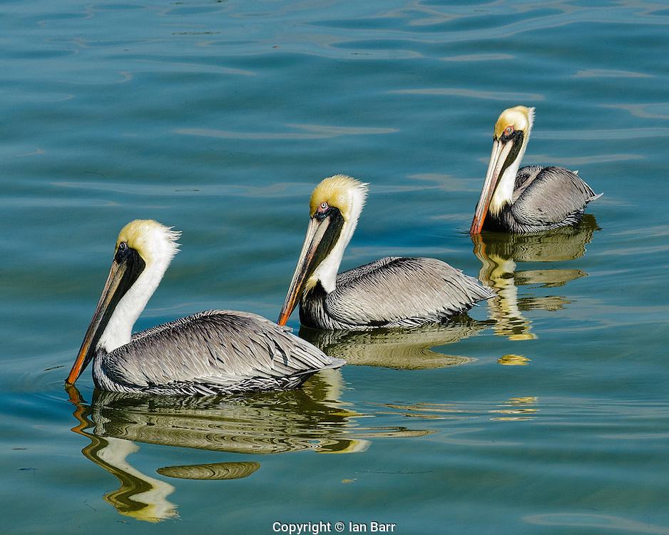 three Pelicans Posing,Pine Island Matlacha,Florida, USA.
