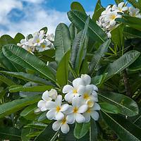 A tropical shrub blooms on Oahu Island, Hawaii.