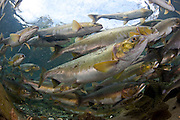 Pink Salmon, Oncorhynchus gorbuscha, gather to spawn in a stream in Vancouver Island, British Columbia, Canada.