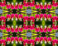 Photo montage of bleeding hearts blooming in Kodiak, Alaska garden.
