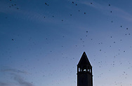 Middletown, New York  - Crows (Corvus brachyrhynchos)  fly past a church steeple on the way to their roosting spots in downtown Middletown on the evening of Feb. 2, 2012.