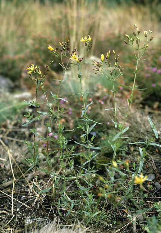 FLAX-LEAVED ST JOHN'S WORT Hypericum linarifolium Height to 30cm. Recalls Wavy St John's Wort but with narrow leaves, to 3cm long, that are not wavy. Flowers are yellow (June-July). Extremely local on rocky ground in SW England; also in N Wales.