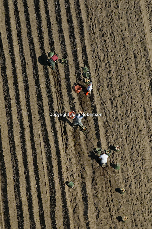 Aerial view of migrant farm workers hunched over doing back breaking work in New Jersey Farm