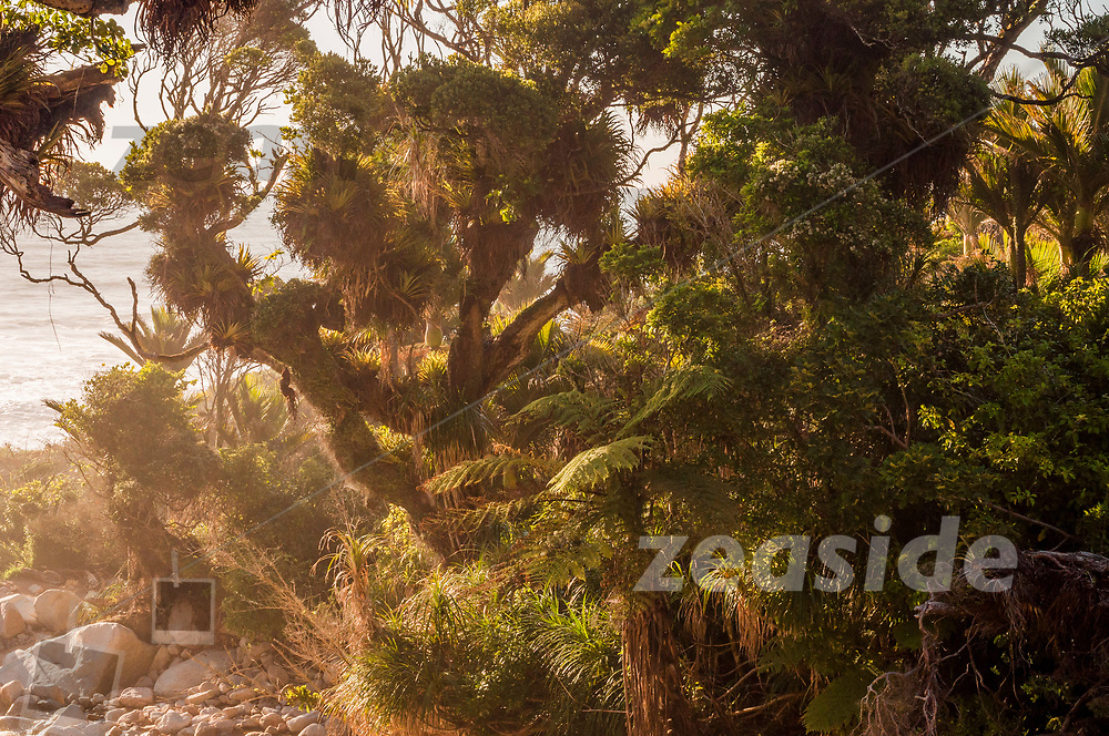 Ancient Pohutukawa trees, overgrown, against the setting sun behind the spray, along the coastal Heaphy track, leading along the west coast of the South Island of New Zealand.