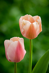 Tulipa 'Ollioules' AGM