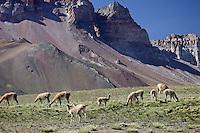 GUANACOS (Lama guanicoe), ADULTOS Y CHULENGOS, RESERVA NATURAL LAGUNA DEL DIAMANTE, PROVINCIA DE MENDOZA, ARGENTINA