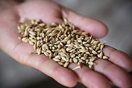 Indian barley, whiskytillverkning hos John Distilleries Pvt Ltd, Goa, India