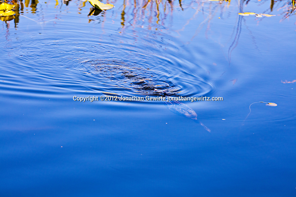 An Anhinga (Anhinga anhinga) water bird dives for prey below the water's surface in a canal along the Anhinga Traill in Everglades National Park, Florida. WATERMARKS WILL NOT APPEAR ON PRINTS OR LICENSED IMAGES.
