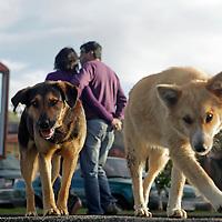 South America, Chile, Puerto Varas. Dogs of Puerto Varas.