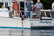 Captain Dan of charter recreational fishing boat Faithful releases a salmon shark, Lamna ditropis, Port Fidalgo, Prince William Sound, Alaska, U.S.A.