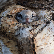 This is a Pteromys volans orii flying squirrel peeking out from its den in a Sakhalin fir tree (Abies sachalinensis) in the soft light of the early winter morning.