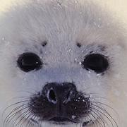 Harp Seal (Pagophilus groenlandicus, close-up portrait of pup in Nova Scotia, Canada.