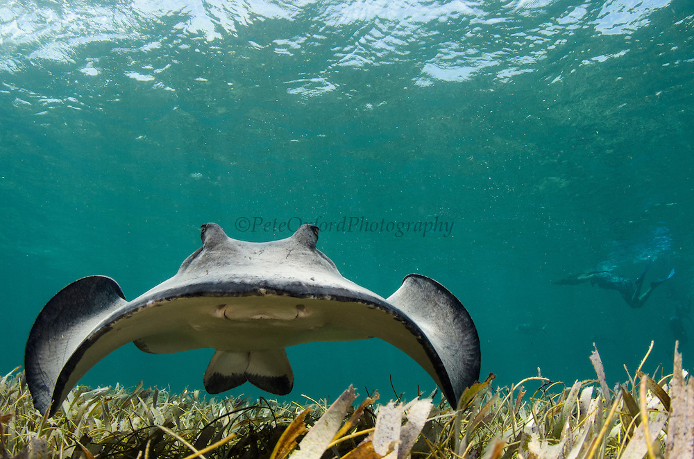 Southern Stingray (Dasyatis americana)<br /> Belize Barrier Reef<br /> Second largest barrier reef system in the world<br /> BELIZE, Central America