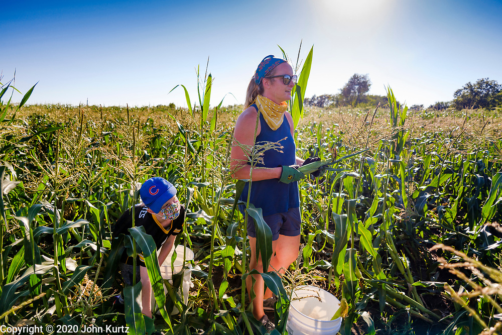 27 JULY 2020 - CARLISLE, IOWA: KRISTEN ROSS and her son, CLAYTON ROSS, 6, from Ankeny, IA,  glean sweet corn on the Butcher Creek Farm in Carlisle. Volunteers from Eat Greater DSM gleaned sweet corn in the fields on the farm. The corn was packaged and will be distributed to Des Moines emergency pantries, community centers, and churches this week. Gleaning is the act of collecting leftover crops from farmers' fields after they have been commercially harvested or gathering crops from fields where it is not economically profitable to harvest. It is an ancient tradition first described in the Hebrew Bible. A spokesperson for Eat Greater DSM said food assistance need has skyrocketed this year. In a normal year, they distribute about 300,000 pounds of food. Since the start of the COVID-19 pandemic in March, they've distributed more than 500,000 pounds of food.        PHOTO BY JACK KURTZ