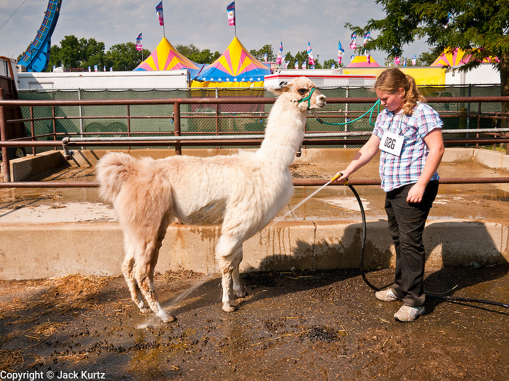 """01 SEPTEMBER 2011 - ST. PAUL, MN: A girl in 4-H washes her llama before showing it at the Minnesota State Fair. The Minnesota State Fair is one of the largest state fairs in the United States. It's called """"the Great Minnesota Get Together"""" and includes numerous agricultural exhibits, a vast midway with rides and games, horse shows and rodeos. Nearly two million people a year visit the fair, which is located in St. Paul.   PHOTO BY JACK KURTZ"""