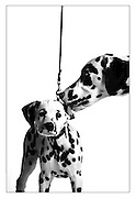 """SHOT 2/13/2004 - """"Rally"""" (right), a male Dalmation that is almost two years old licks the ear of 12 week old male Dalmation puppy """"Cruise"""" (left) as the two pose for a portrait Friday. """"Rally"""" has already won points in AKC dog shows and is on his way to AKC Champion status while """"Cruise"""" has yet to be entered in an AKC dog show but his owner, Melissa Schultz, plans on showing him in the future. The Rocky Mountain Cluster dog show is one of the largest dog shows in the West and features 162 different breeds of dogs and draws close to 4,000 canines a day. The four day long event is held cooperatively between the Plum Creek Kennel Club and the Colorado Kennel Club. The dog show draws people and dogs from all across the country as well as Mexico, Canada and Europe..(Photo by MARC PISCOTTY / ©2004)"""
