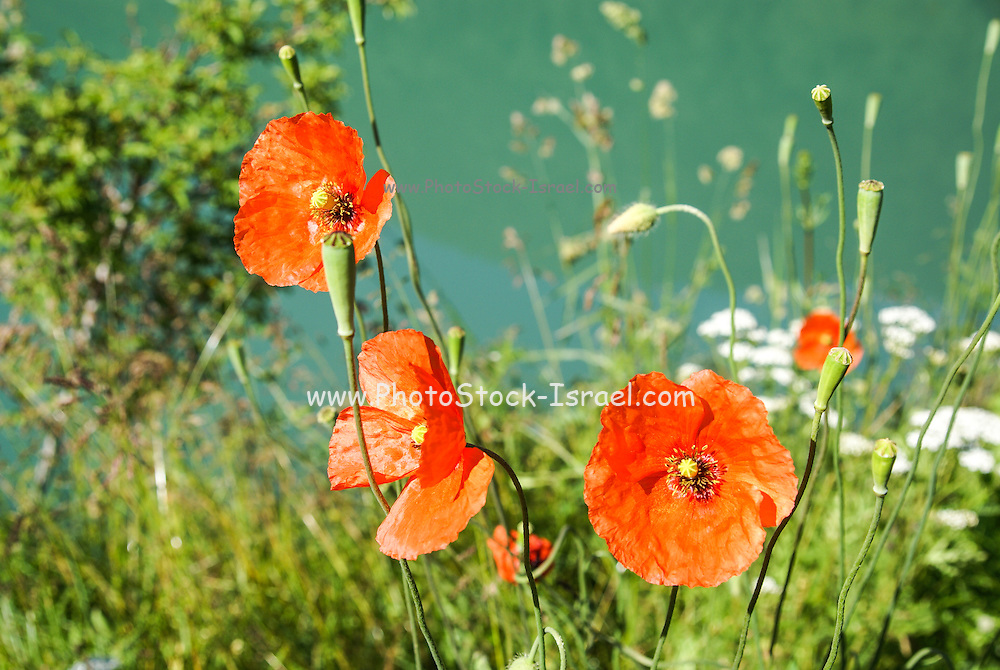 Red Poppies. Photographed in the Pyrenees Mountains, Spain