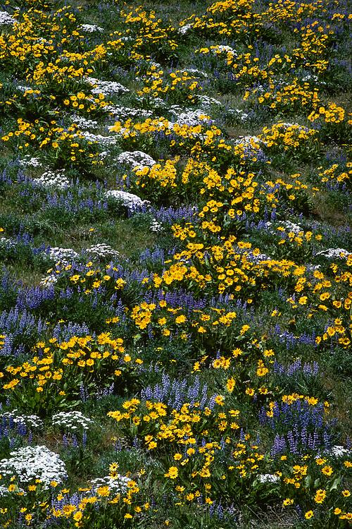 Balsamroot, lupine and phlox, April, Kittitas County, Washington, USA