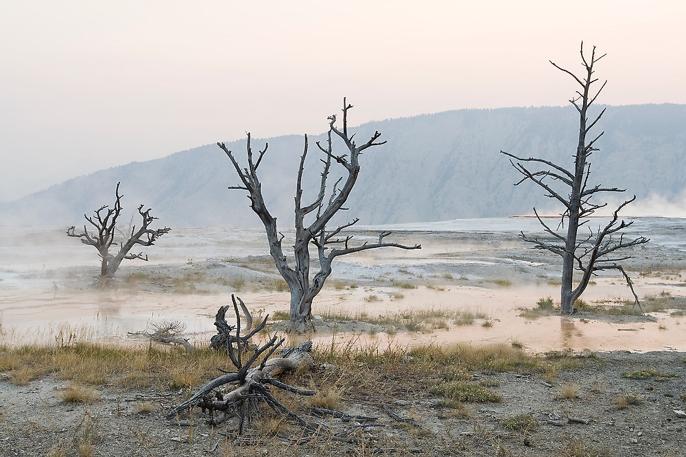 Gnarled trees stand dead, killed by heat and sulphuric conditions, in the steaming hot mineral pools at Mammoth Hot Springs, Yellowstone National Park, Wyoming.