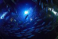 ESP, Spanien: L'Oceanogràfic, zur Zeit das groesste Aquarium Euorpas, Schwarm von Schwarzspitzen-Stachelmakrelen (Caranx crysos), Stadt der Kuenste und Wissenschaften, Valencia, Valencia | ESP, Spain: L'Oceanogràfic, at the moment the largest Aquarium of Europe, shoal of Blue Runners (Caranx crysos), City of Arts and Sciences, Valencia, Valencia |