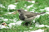 Black-throated Thrush - Turdus atrogularis