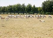 Nederland, Brummen, 19-7-2018 Deze koeien grazen in een vergeeld weiland . Het gras is verdroogd en geel door de langdurige droogte . Door het uitblijven van regen is het gras verdwenen .. Foto: Flip Franssen