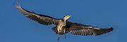 Scared Grey Heron flying in evening sun | Forskremt grågehre flyr i kveldssol.