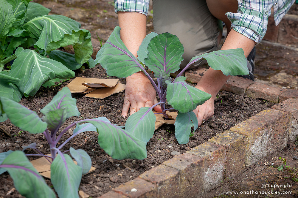 Using a homemade cardboard cabbage collar to protect brassicas from cabbage root maggots