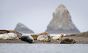 Harbor seals rest on a sandbar at the mouth of the Russian River, Jenner, California.