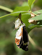 White admiral (Limenitis camilla) imago newly hatched from chrysalis.  Day 24. Sussex, UK.