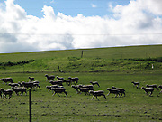 Sheep in the Pasture, A view looking from Interstate 580 South on the way back to Los Angeles, LA