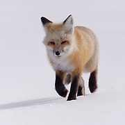 Red Fox, hunting in Hayden Valley, Yellowstone National Park, Wyoming.