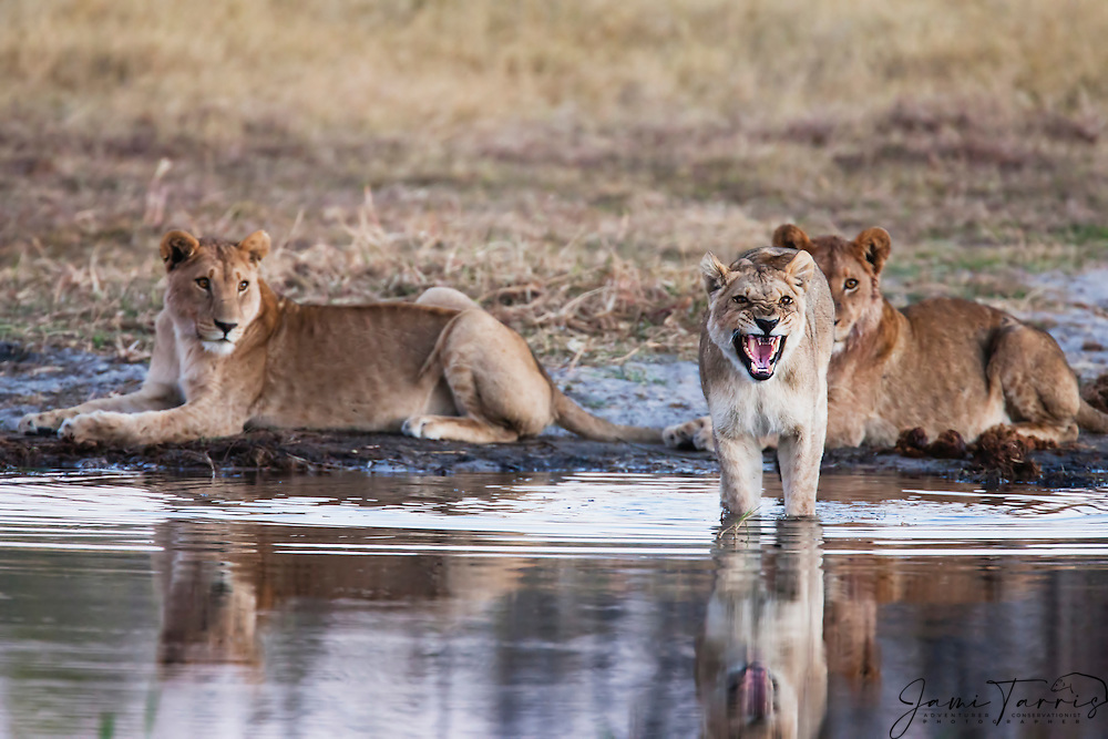 A pride of young lionesss (Panthera Leo) stop to get a drink in the Khwai River at dusk and growl at close approach in warning, Moremi,Botswana,Africa