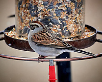 Chipping Sparrow. Image taken with a Nikon D5 camera and 600 mm f/4 VR telephoto lens (ISO 3200, 600 mm,  f/5.6, 1/500 sec).