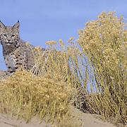 Bobcat (Lynx rufus) in the sand dunes of Little Recreation Sahara Area,  Utah.  Captive Animal.