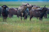 Herd of Water Buffalo, Bubalus bubalis, at Pusztaszer protected landscape, Kiskunsagi, Hungary