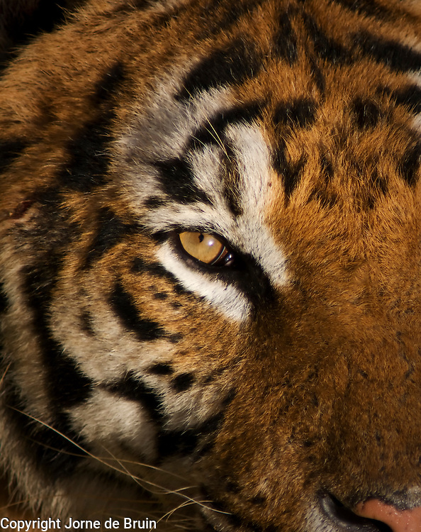 A close up of a Tigers face in the Wildlife Park Cabárceno in Spain.