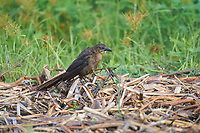 Great-tailed Grackle (Quiscalus mexicanus) Lake Chapala, Ajijic, Jalisco, Mexico. Photo: Peter Llewellyn