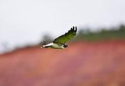 Jeceaba_MG, Brasil...Ave de rapina em Jeceaba, Minas Gerais...The bird of prey in Jeceaba, Minas Gerais...Foto: JOAO MARCOS ROSA / NITRO