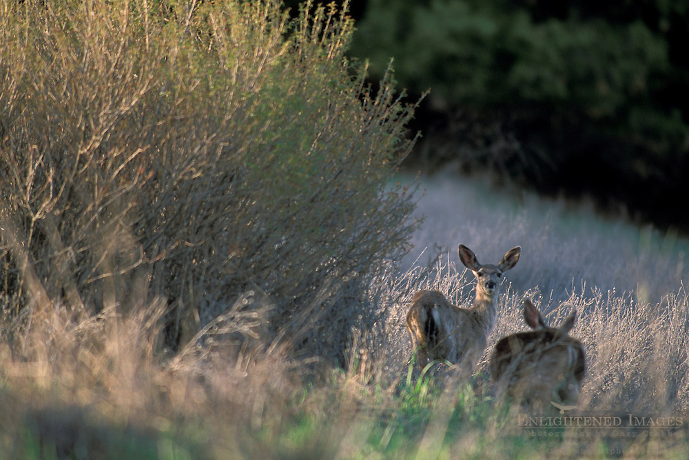 Deer in afternoon light, Vineyard Drive, Paso Robles San Luis Obispo County, California