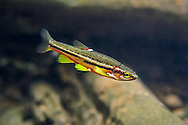 Tennessee Dace<br /> <br /> Isaac Szabo/Engbretson Underwater Photography