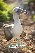 A Blue-footed booby, North Seymour Island, Galapagos, Ecuador, South America
