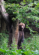 Eurasian brown bear, Ursus arctos, at a bear watching site in Sinca Noua, Piatra Craiului National Park, Southern Carpathians, Romania, Rewilding Europe site