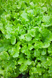 Lettuce 'Green Salad Bowl'. Lactuca sativa