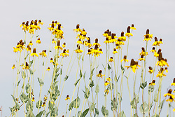 Dickcissel perched in cluster of Great coneflower s(Rudbeckia maxima Nutt.) on the Daphne Prairie, a remnant of the Blackland Prairie, Mount Vernon, Texas, USA. Check identification.