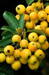 Malus 'Golden Hornet' in fruit<br /> Crab apple