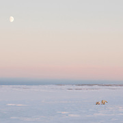 Polar Bear mother and her two cubs. Cape Churchill, near Churchill, Manitoba, Canada